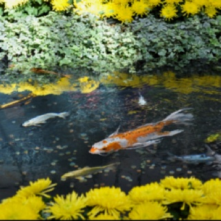 Koi pond-Chinese New Year Deco at the Bellagio Hotel, Las Vegas.