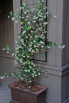 The smell of jasmine also lessens feelings of anxiety. No wonder it was so blissful to sit on Grandma's jasmine-wrapped front porch