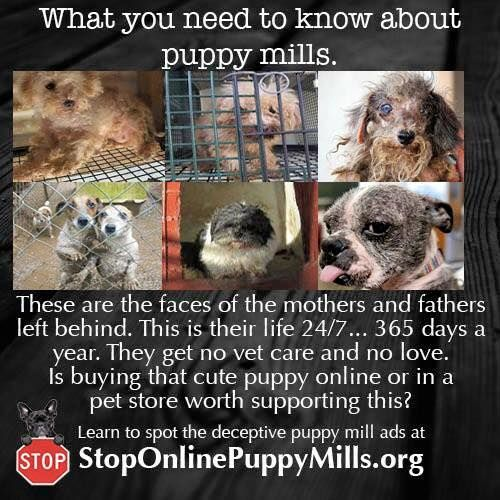 So sad, yet people know this and still buy a puppy from a store. When the puppy gets older they will often dump them off at shelters because they are no longer small and cute, in their opinion. This makes me so angry