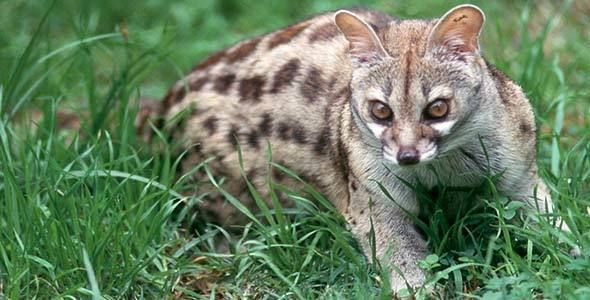 San Lameer is filled with an array of incredible and interesting wildlife. Today we present to you, the Spotted Genet. #WildlifeWednesday The Cape genet is ash grey with brown irregular spots and a black stripe along the spine. Its muzzle is white, and it has white spots below the eye. Its ears are grey. Its tail is black and white banded with a black tip. Some individuals living in areas with more than 375 mm annual precipitation are darker than individuals from drier areas. Measurements of…