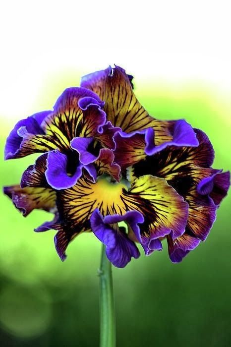 Purple and Yellow Frilly Pansy