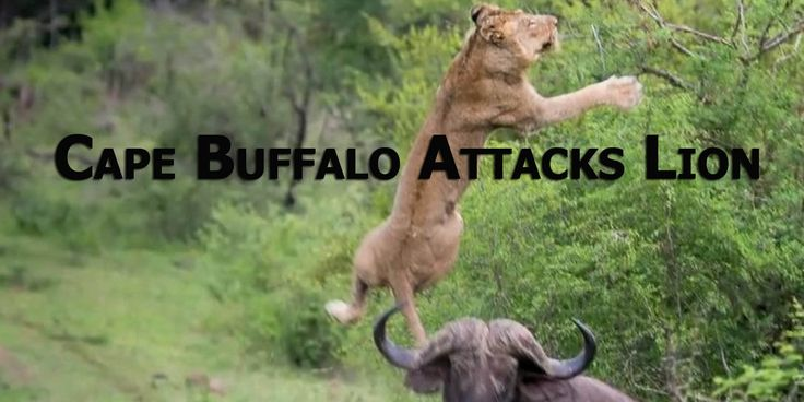 Cape Buffalo takes REVENGE on Lion | CAUGHT IN THE ACT. Cape Buffalo attacks a young lion stuck in a tree and toss him high in the air.