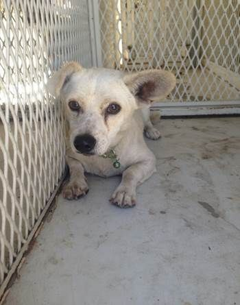 ***SUPER SUPER URGENT!!!*** - PLEASE SAVE GENERAL!! - EU DATE: 9/10/2015 -- General (06152015c-D01) Breed:Chihuahua (mix breed) Age: Young adult Gender: Male Size: Small Special needs: hasShots, Shelter Information: Delano Animal Shelter 1525 Mettler Avenue  Delano, CA Shelter dog ID: 06152015C-D01 Contacts: Phone: 661-721-3377 Name: Delano Animal Control email: SHELTER661@GMAIL.COM  Read more at http://www.dogsindanger.com/dog/1434396092751#KMqCLp6WMrYSgzIV.99