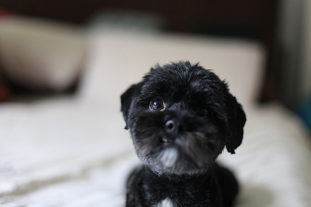 Another Shih Tzu Toy Poodle mix - the sweetest dogs in the world!