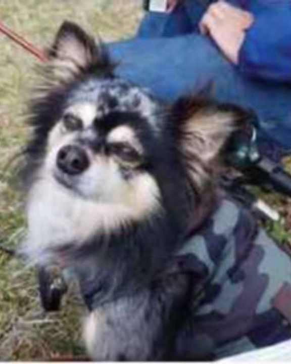 Lost Dog Duluth Chihuahua Pomeranian Mix Male Date Lost 02 09 2020 Dog S Name Duece Breed Of Dog Chihuahua Long In 2020 Dogs Dog Ages Pomeranian Chihuahua Mix
