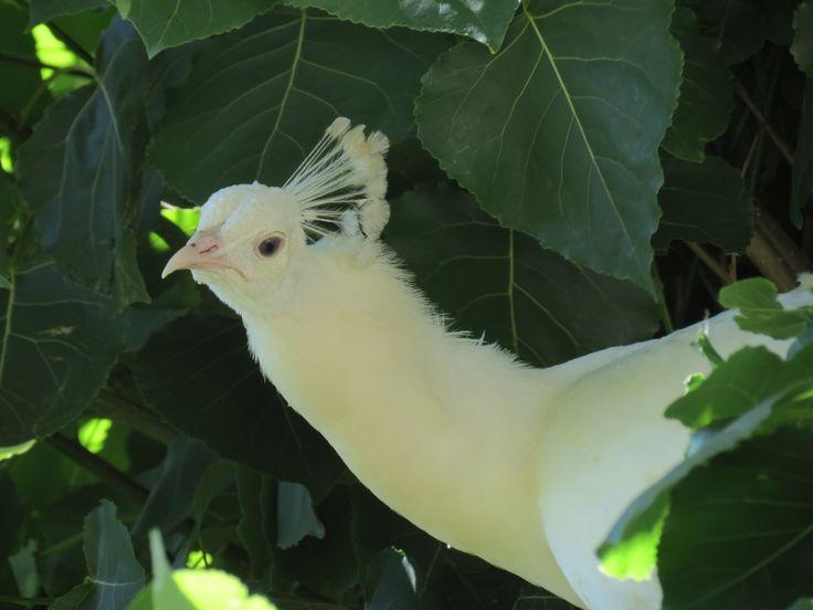 Pavo real refrescandose en un árbol