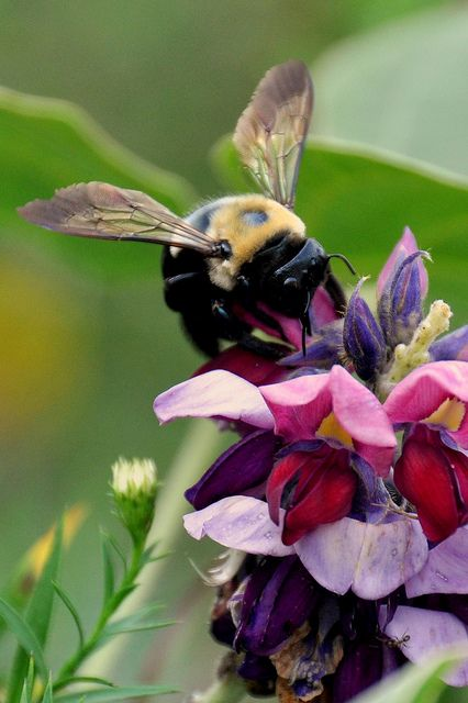 Carpenter Bee. We've got several hanging out in our yard. Can't tell if they're fighting or frolicking with one another.