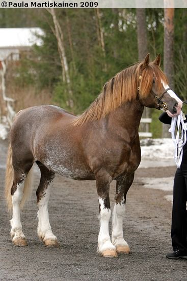 Welsh Cob (section D) stallion Cathael Idris ( Welsh Cob: The Welsh Cob is 13.hh and taller. It is heavier than the other types of Welsh Ponies and retains the feathering on the fetlocks and lofty knee action of their draft ancestors. It is not uncommon for the Welsh Cob to reach up to 16hh.)