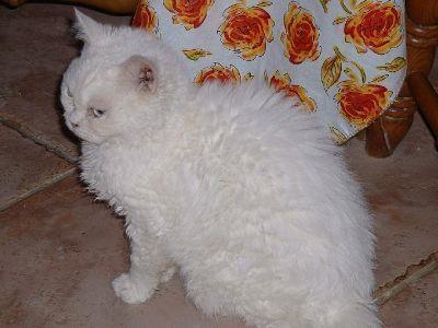 Selkirk Rex: Cornish Rex, Rex Cat, Beautiful Cat, Color, Curly Hair Pet, Photo, Selkirk Rex, Cat Breeds, Coats