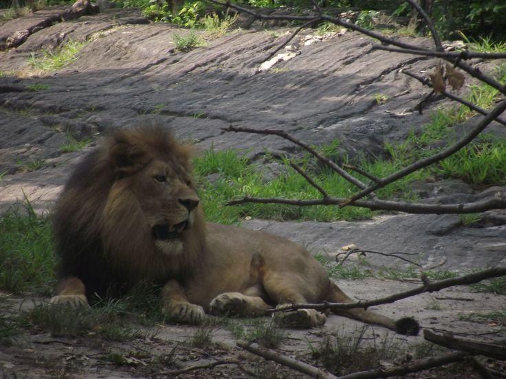 Il Re della foresta nello zoo del Bronx