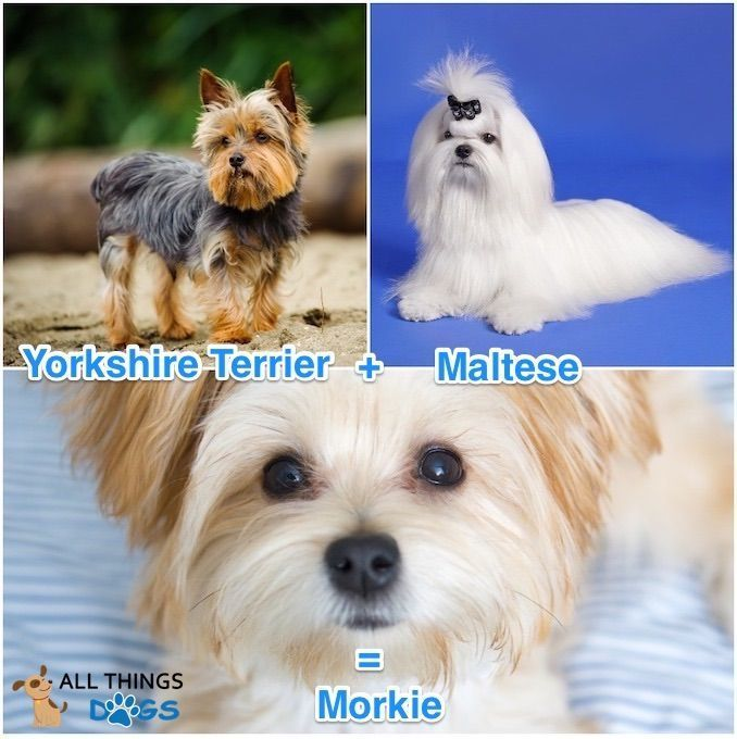 How Do You Breed A Morkie A Morkie Is A Mix Between A Yorkshire