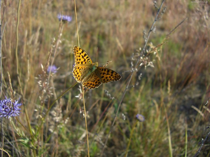 Motyl, Łąka, Trawy, Kwiaty, Polne