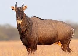 nilgai (Boselaphus tragocamelus)  found in south texas imported from   india and pakistan, population around the Texas-Mexico border is estimated to be around 10,000  and the King Ranch where Nilgai were first released between 1930-41 now has around 30,000 of them