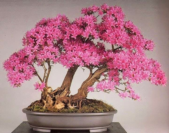 gorgeous pink flowering bonsai,   Azalea (Rododendron indicum) by Bonsai Kai found on bonsai empire on G+ www.bonsaiempire.com #Bonsai #azalea