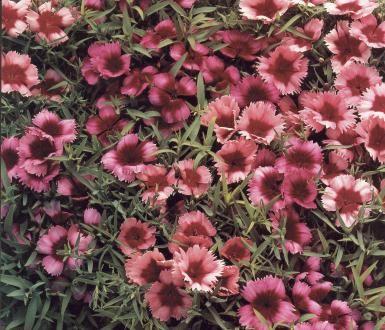Kesäneilikka | Pirilän Kukkatalo