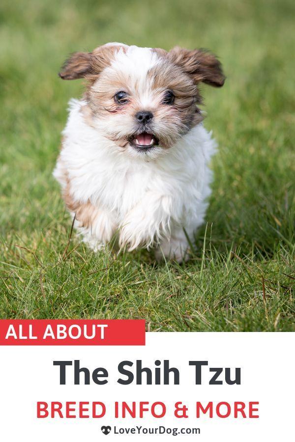 Shih Tzu 101 Breed Information Temperament Personality Traits