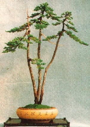 The Juniper trained and styled as Literati Bonsai. another great pot