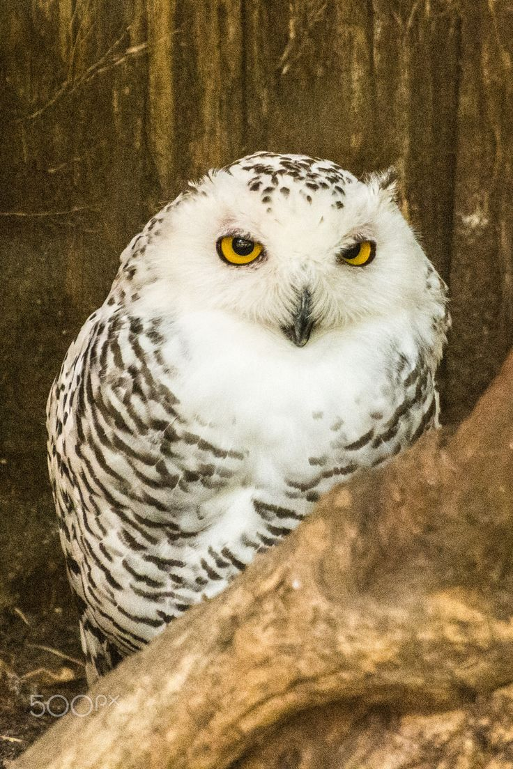 1000 images about nocturnal birds of prey on pinterest for Do owls eat fish