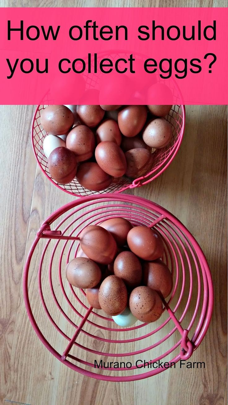 collecting chickens eggs