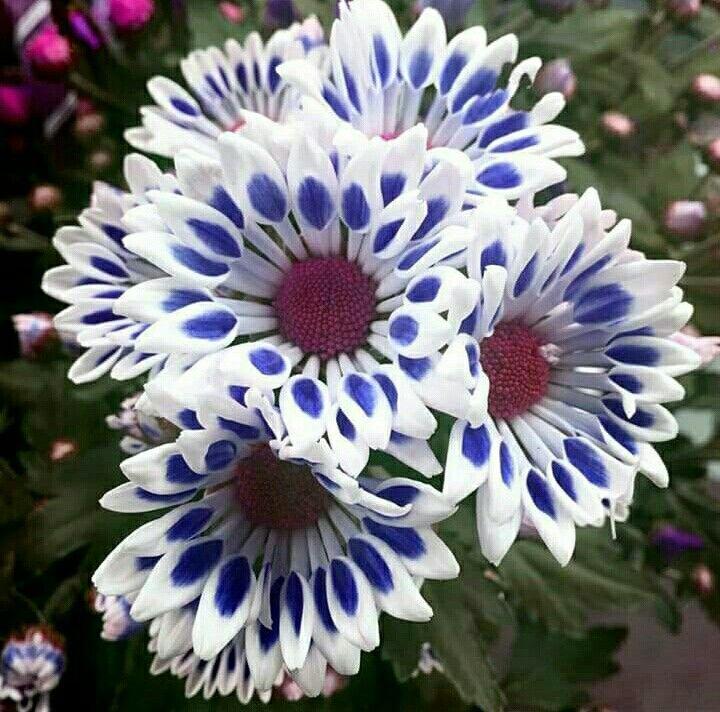 Best 25 Chrysanthemums Ideas On Pinterest Chrysanthemum