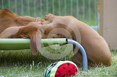 Cute little Rhodesian Ridgeback puppy is lying in the green grass in garden. It is sleeping only with its head on a small hammock in a funny position. The little dog is six weeks of age.