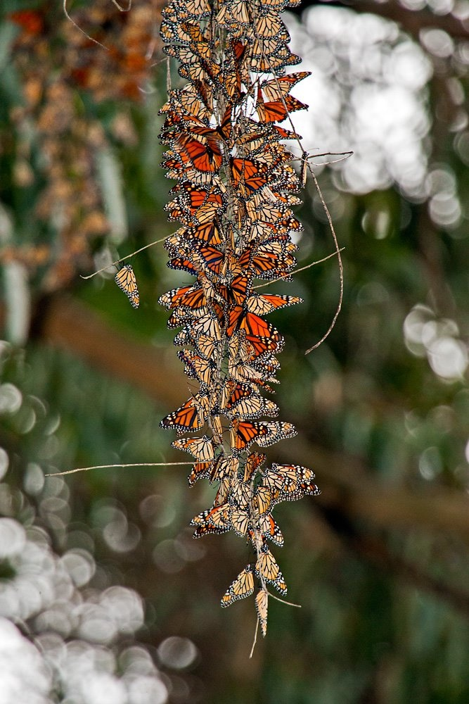 51 Best Images About The Monarch On Pinterest Santa Cruz