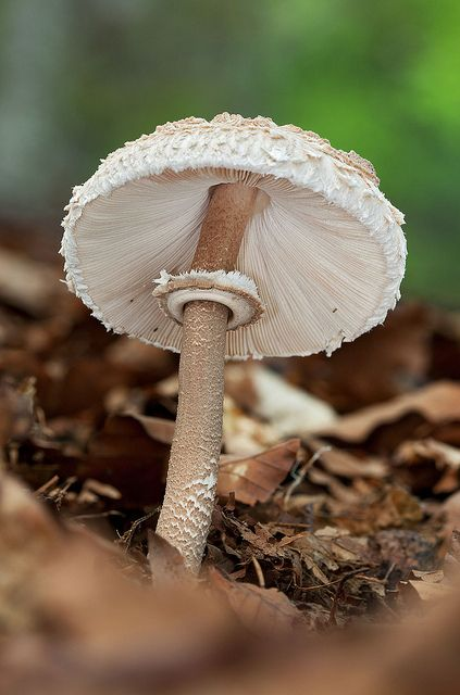 Macrolepiota procera | Flickr - Photo Sharing!