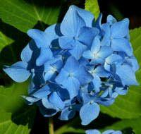 Nikko Blue Hydrangeas