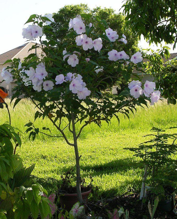 Rare Pink Morning Glory Tree Not Vine Ipomoea Carnea 5 Seeds Garden Vines Garden Express Morning Flowers