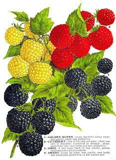 Antique Images: Vintage Fruit Clip Art: 4 Varieties of Raspberries from Vintage Seed Catalog