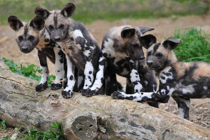 Les 7 bébés lycaons ,espèce en voie de disparition proche des loups, nés à la réserve de Sigean (Aude) début Novembre, viennent de sortir de leur terrier !
