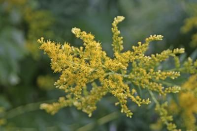Foods That Trigger Ragweed Allergies (http://www.nytimes.com/1995/09/06/us/personal-health-beyond-ragweed-allergenic-combinations.html)
