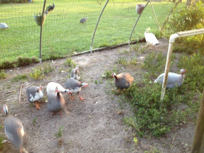 20 to 25 Guinea Fowl for Sale
