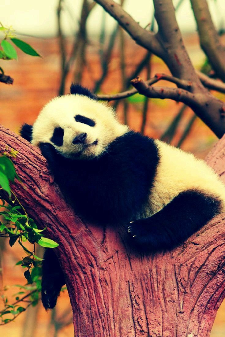 53 Best Oso Panda Images On Pinterest Adorable Animals