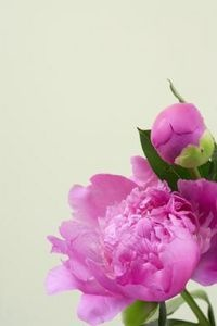 Step by step directions to plant peonies indoors.  I am sad I have to wait until Fall to begin, but can't wait until Spring when they will brighten my home!