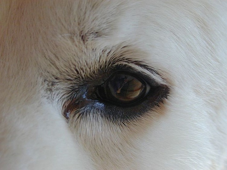 the beautiful eye of a great pyrenees