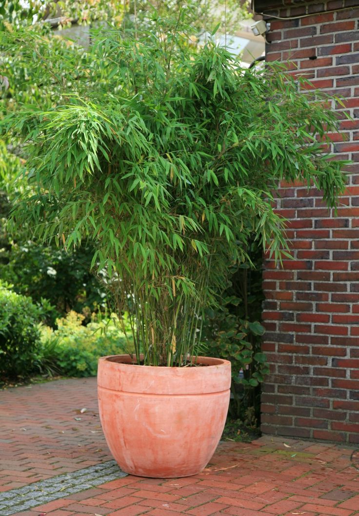Fargesia murielae 'Jumbo'/Umbrella Bamboo might be a better candidate to grow in a container. It is a clump-forming bamboo which will reach 3-4m. It has light green leaves and beautiful thin green stems which eventually age to yellow. It will remain in a tight clump.