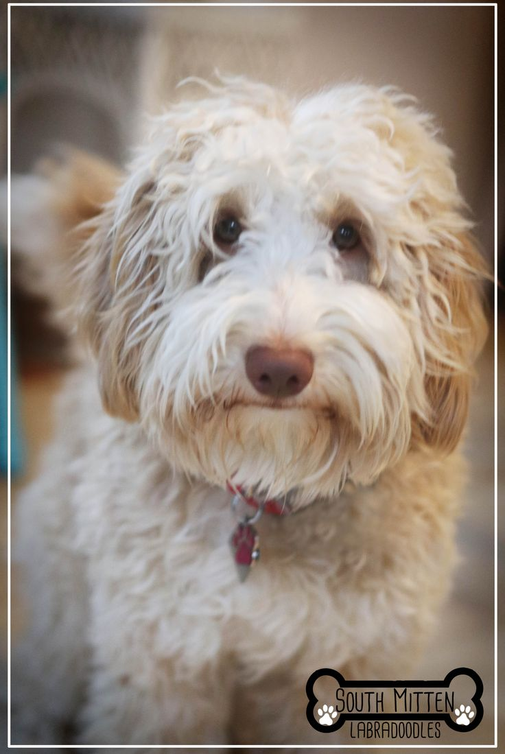 South Mitten Australian Labradoodle Puppies are allergy