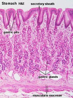 Blue Histology - Gastrointestinal Tract