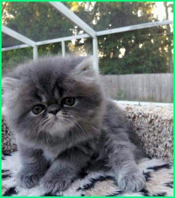 Kucing Lucu Abu Abu