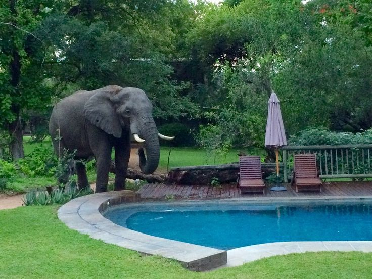 A male elephant enjoys a drink from the pool at Selati Camp! - PhonePic by Craig Reiche