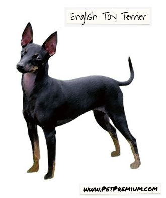 ETTs love attention and are very loyal to their human family members. However, they are also extremely alert and wary of strangers. Males tend to be quite aggressive among each other and should not be kept together without proper training. Due to their strong hunting instincts, English Toy Terriers can be very active and may become bored easily.