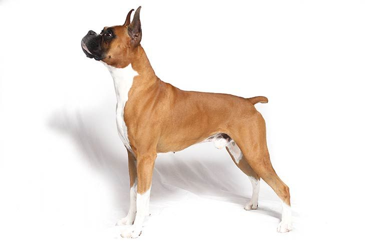 Boxer Dog Breed Information Dogs Boxer Dog Breed Boxer Dog