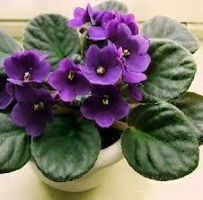 Como cuidar da planta violeta. Uma violeta é uma planta fantástica para decorar seu lar, seja nos ambientes internos ou no pátio ou jardim. Seu nome indica a cor geral de sua flor, embora também possa ser encontrada alguma espécie ...