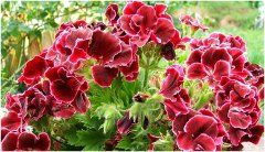 pekné rozkvitnuté červené pelargónie