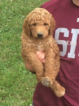 Litter of 9 Poodle (Standard) puppies for sale in THOMPSONVILLE, IL. ADN-36014 on PuppyFinder.com Gender: Male. Age: 6 Weeks Old