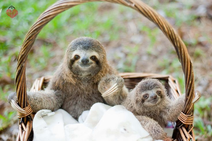 """primatography: """"NOW AVAILABLE for Pre-Order!!! """"SLOTHLOVE"""" a sloth photo-book of my very best sloth photos, inspirational stories as a sloth rehabber and sloth facts!!! Please share and help me to..."""
