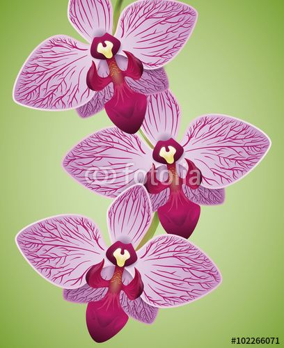 Exotic Beautiful Orchids Purple and Fuchsia Colored Isolated