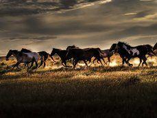 divocí koně