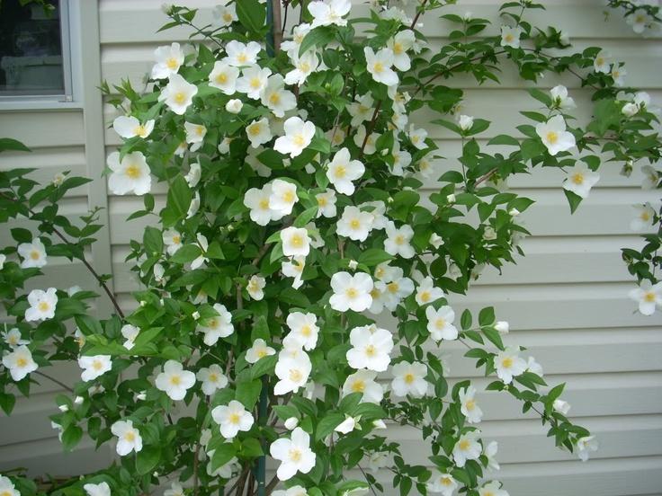 57 best flowers images on pinterest beautiful flowers for Tall flowering shrubs